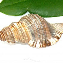 Cymatium pileare (Indopacifik)