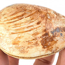 Petrified shells (Madagascar) 192g
